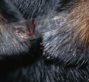 chien syndrome vestibulaire