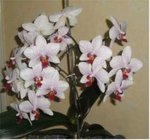 ORCHIDEE COUPE-copie-1