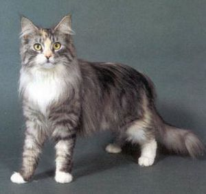 maine-coon-cats.jpg