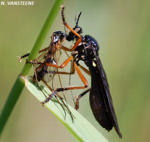 Dioctria oelandica, une grande mouche prédatrice