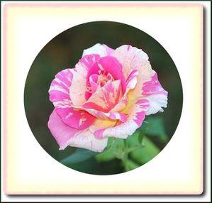 rose-roseraie-1.jpg