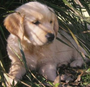 golden_retriever_15a_puppies_for_sale.jpg