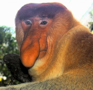 619px-Portrait of a Proboscis Monkey