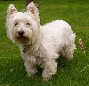 West_Highland_White_Terrier.jpg