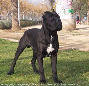 351772-animaux-chiens-cane_corso.jpg