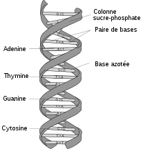 220px-DNA structure and bases FR svg