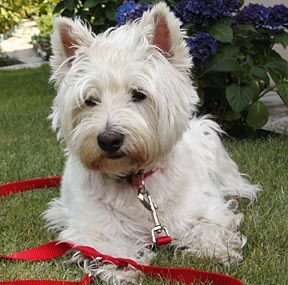 west-highland-white-terrier-training.jpg