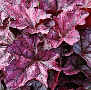 heuchera-plum-royale