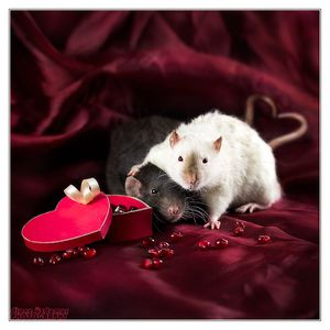 ratties___valentine__s_day_by_dianephotos-d39jceo.jpg