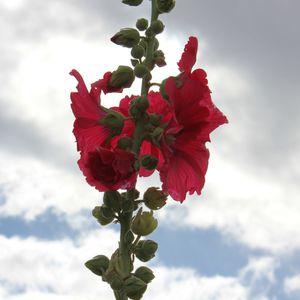 roses-tremieres-saint-trojan-017.JPG