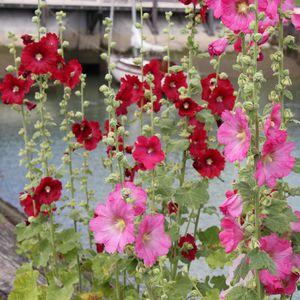 roses-tremieres-saint-trojan-033.JPG