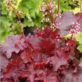 heuchera-fire-chief-hortiflor