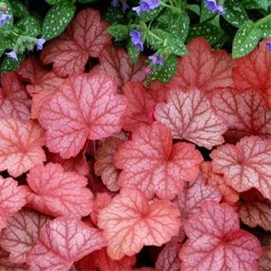 heuchera-georgia-peach