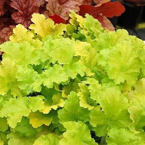 heuchera-lime-rickey