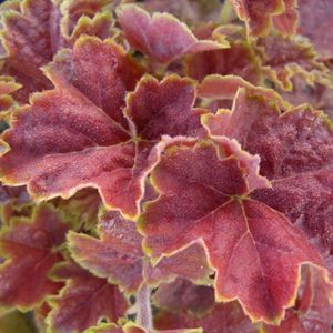 heuchera-miracle