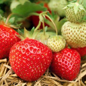 fraise-grosse-rabunda-istock.jpg
