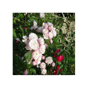rose-delacroix-mascep.jpg