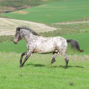 1276770951_100504479_1-Pictures-of--APPALOOSA-HORSES-FOR-SA.jpg
