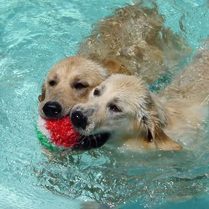 Golden-Retrievers-pool-1.jpg