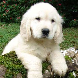 TPU7M7PX1golden_retriever.jpg