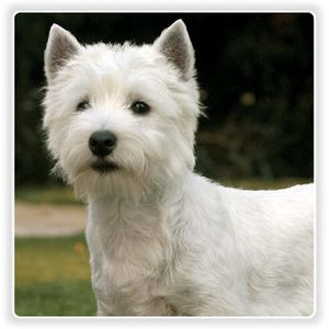Eukanuba-west-highland-white-terrier.jpg