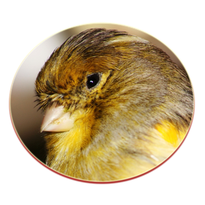 oiseaux-canari-gloster.png