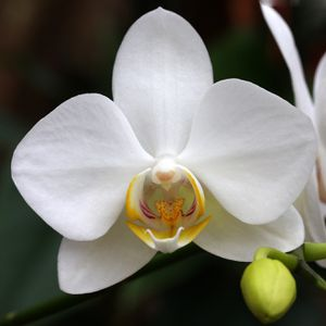 white orchids meaning