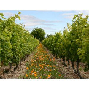 jachere-vignes-fleuries-deco-vignes-annuelles