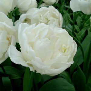 tulipe-double-white-heart-63712-2