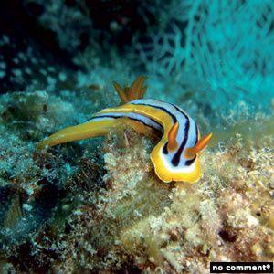 1 nudibranche