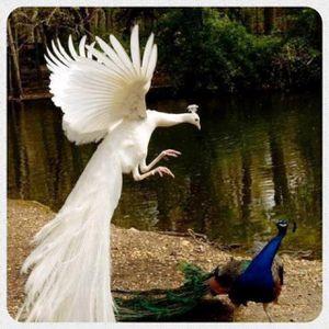 Ninja-albino-peacock.jpg