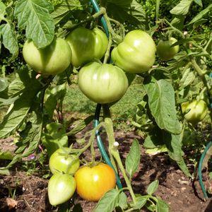 tomates-fournaises---aout-2013.jpg