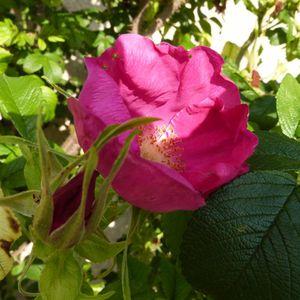 rosa rugosa - juin 2014 (800x800)