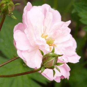 rosier-eileen-low---profil-d-une-rose---mai-2014.jpg