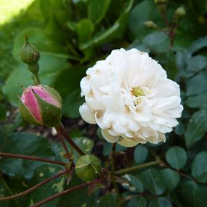 rosier-little-white-pet----juin-2014---un-bouton-une-rose.jpg