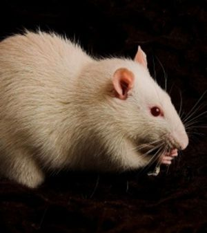 grace-a-l-implant-cerebral-les-rats-sont-devenus-capables-d.jpg