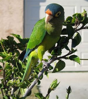 les-perruches-conure-a-front-orange-sont-capables-d-imiter-.jpg