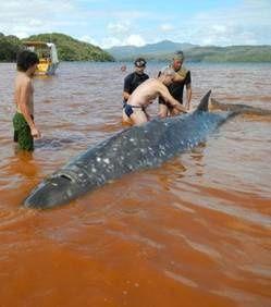 huit-baleines-a-bec-de-longman-se-sont-echouees-en-nouvelle.jpg