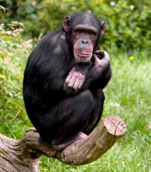 chimpanze-illustration_57728_w460.jpg
