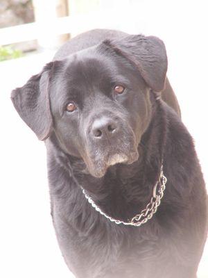 assurer votre chien rottweiler categorie 2 assurmontoutou assurance sante pour chien et chat. Black Bedroom Furniture Sets. Home Design Ideas