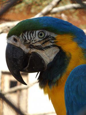 ara ararauna (Le jardin aux oiseaux)