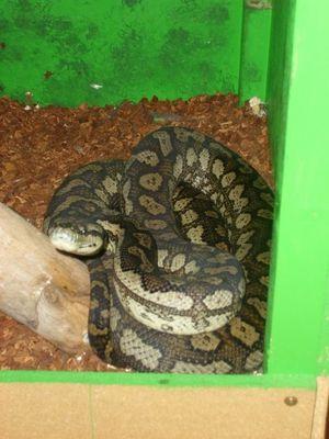 Morelia Spilota McDowelli (coastal carpet python) ,Napa