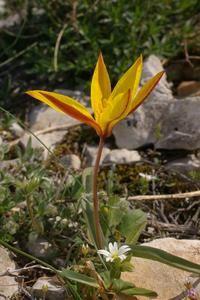Tulipa-sylvestris-6743.jpg