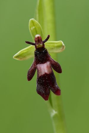 ophrys mouche 1252x