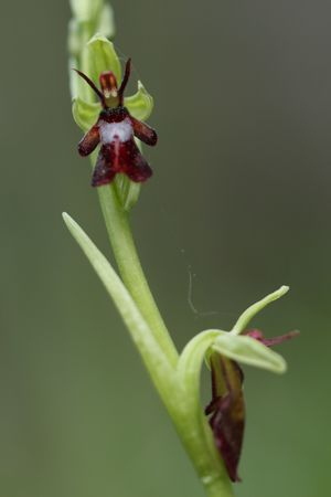 ophrys mouche 1264x