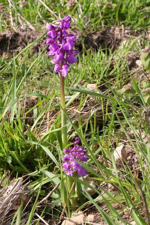 orchidées 7506