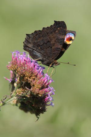 papillons 9544