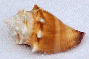 FLORIDE-fighting-conch-florida-keys.jpg