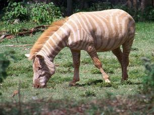 zebre albinos