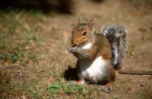 kentucky gray squirrel